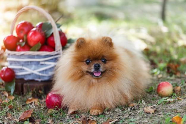 Chien de poméranie aux pommes dans un jardin. récolte de pommes. chien aux pommes. chien d'automne