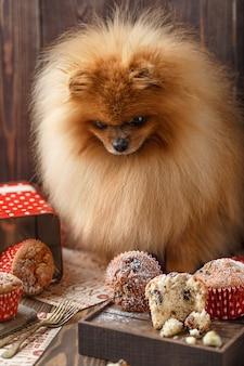 Chien de poméranie drôle avec des friandises sur table en bois. chien moelleux. chien de poméranie avec muffins