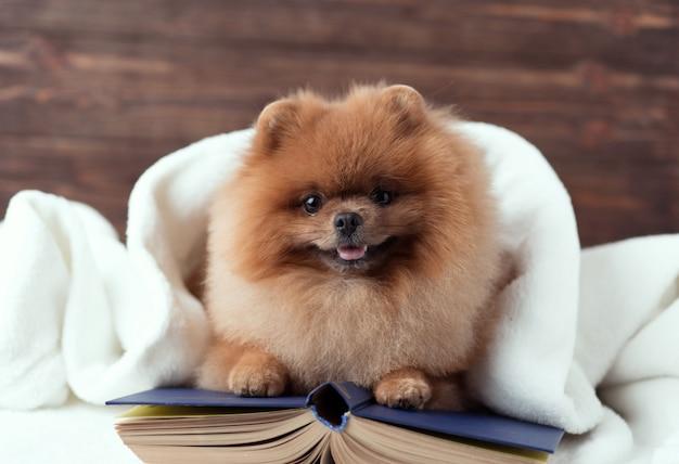 Chien de poméranie intelligent avec un livre. un chien abrité dans une couverture avec un livre.
