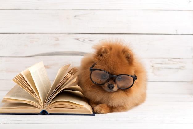 Chien de poméranie intelligent avec un livre.