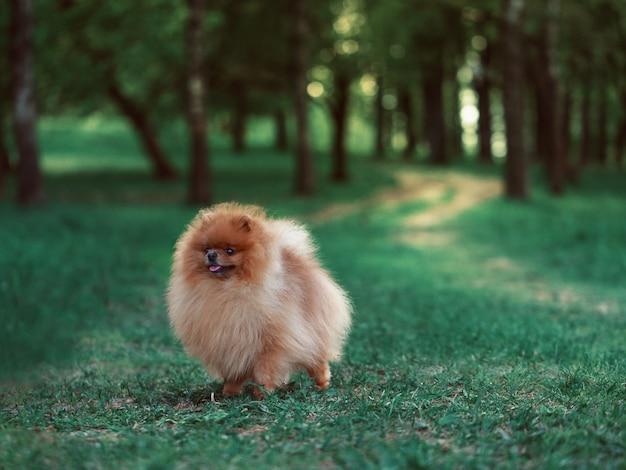 Chien de poméranie marchant dans le parc d'été. beau chien