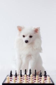 Un chien poméranien blanc est assis à côté d'un échiquier, sur fond blanc, cadre vertical.