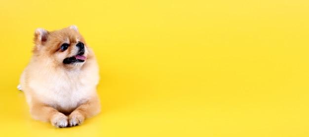 Chien poméranien avec fond jaune.