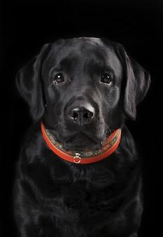 Chien portrait discret de labrador retriever sur fond noir. verticale.