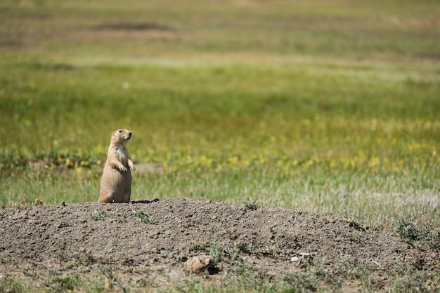 Chien de prairie à la queue noire du parc national des prairies en saskatchewan, canada