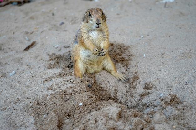 Chien de prairie sur le sable en thaïlande