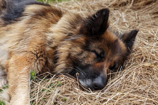 Chien de race berger allemand. le chien dort dans le foin.