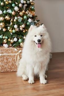 Chien de race blanche samoyed sur nouvel an