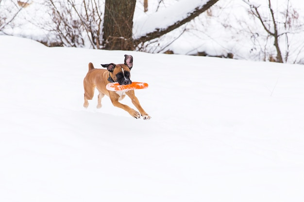 Chien de race brune jouant avec un jouet de cercle orange sur le champ de neige. boxeur. chien courant