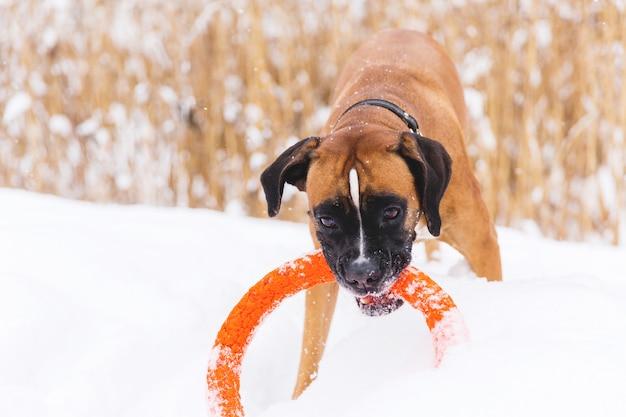 Chien de race brune jouant avec un jouet de cercle orange sur le champ de neige. boxeur