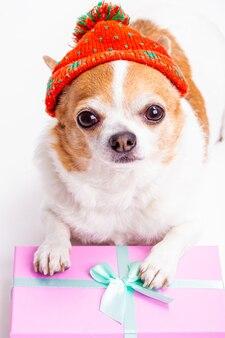 Chien de race chihuahua dans un chapeau avec un cadeau