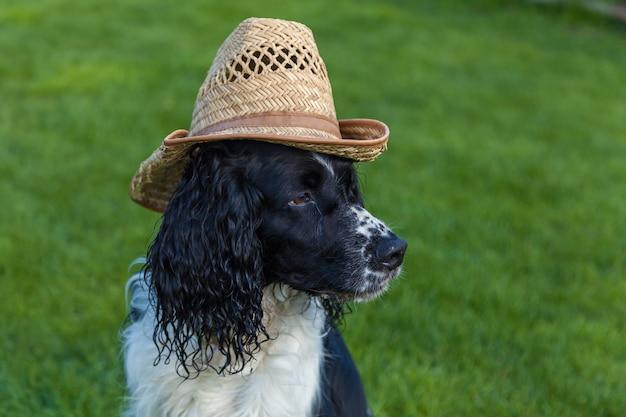 Le chien de race cocker spaniel est assis dans un chapeau de paille, cocker spaniel blanc noir