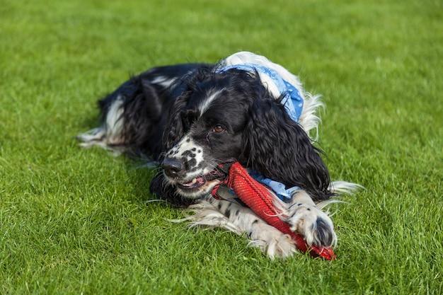 Le chien de race cocker spaniel se trouve sur une herbe verte, cocker spaniel blanc noir