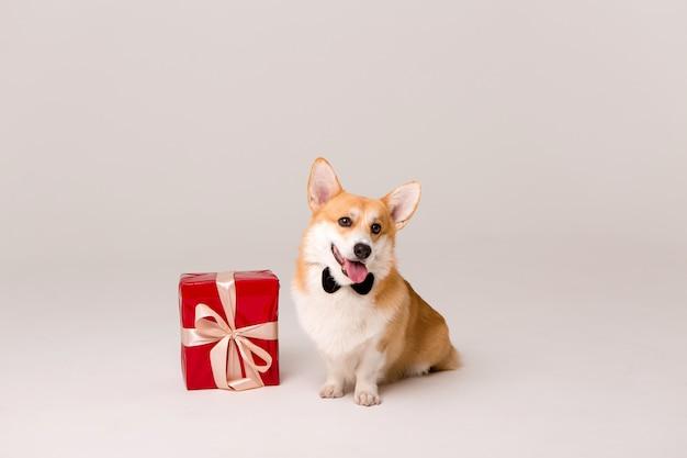 Chien de race corgi en cravate avec une boîte cadeau rouge sur blanc