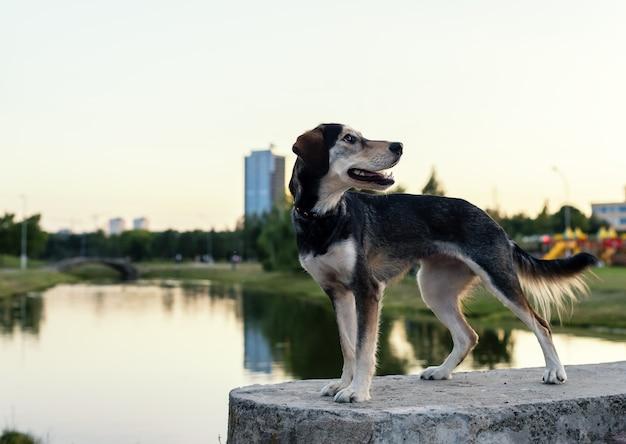 Le chien de race élève le husky et l'épagneul anglais