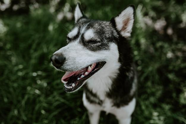 Un chien de race husky aux yeux bleus est assis