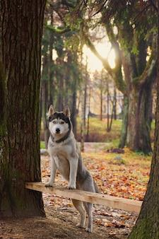 Chien de race husky pattes debout sur un banc entre les arbres.