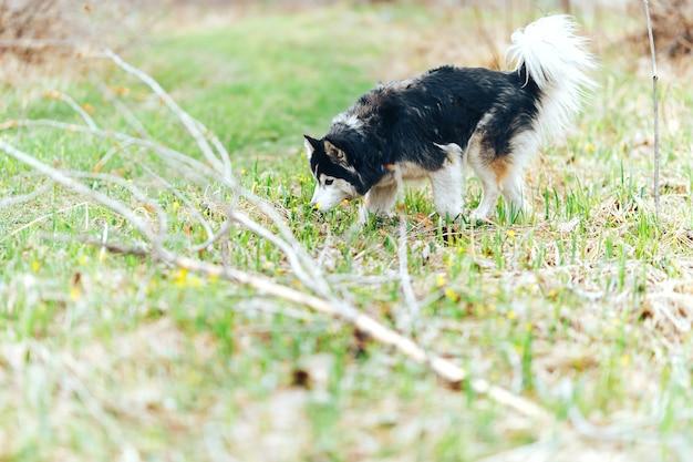 Chien de race husky sibérien marchant dans la forêt de printemps