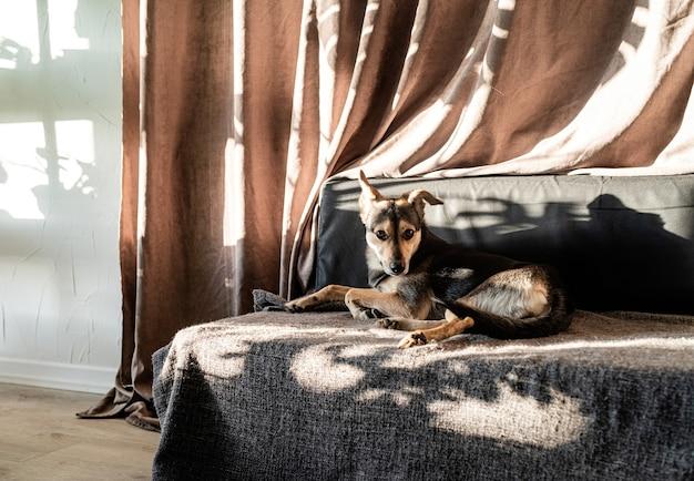 Chien de race mixte mignon dormant sur un canapé, ombres de feuilles dures sur le rideau. salon. couleurs marron et gris