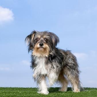 Chien de race mixte avec un yorkshire debout devant sur l'herbe contre le ciel bleu