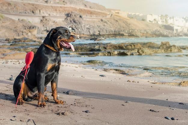 Chien de race rottweiler assis dans le sable au bord de la mer par une belle journée d'été, avec un cœur enterré juste à côté.