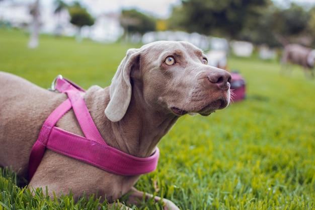 Chien de race weimaraner assis dans l'herbe avec sa laisse rose.