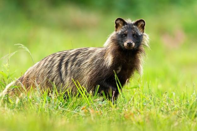 Chien raton laveur intéressé dans l'herbe