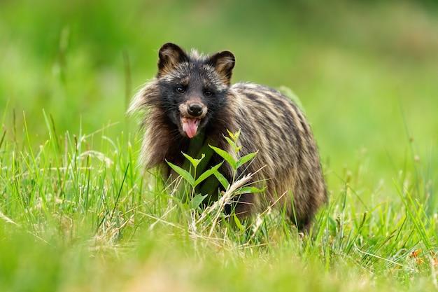 Chien raton laveur, nyctereutes procyonoides, respirant fortement par une chaude journée d'été avec la bouche ouverte. concept d'animal sauvage heureux avec des émotions positives. mammifère à fourrure sombre souriant.