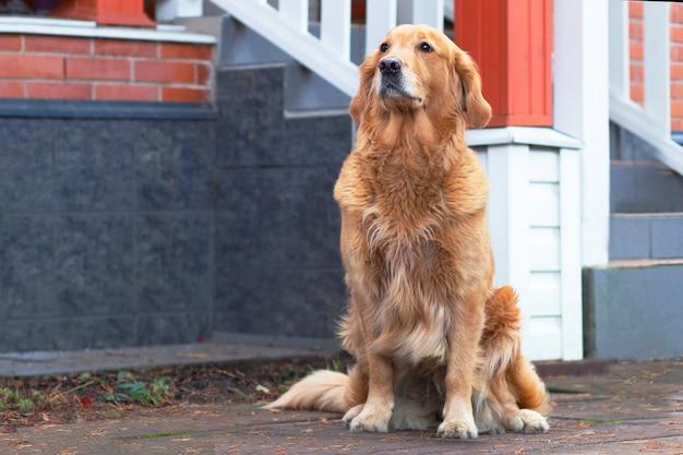 Chien regarde directement dans l'appareil photo, golden retriever, labrador près de l'animal assis sa maison, à l'extérieur, à l'extérieur.