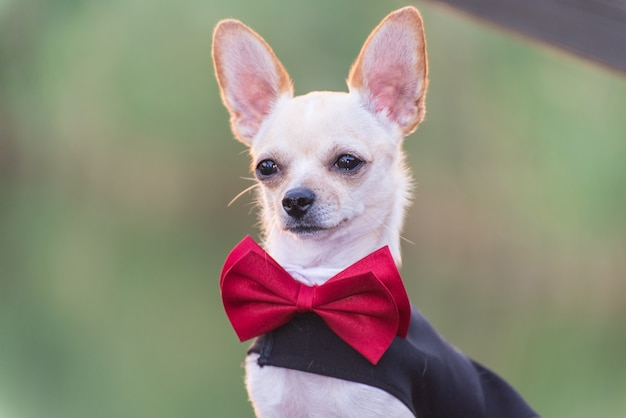 Un chien en robe de mariée
