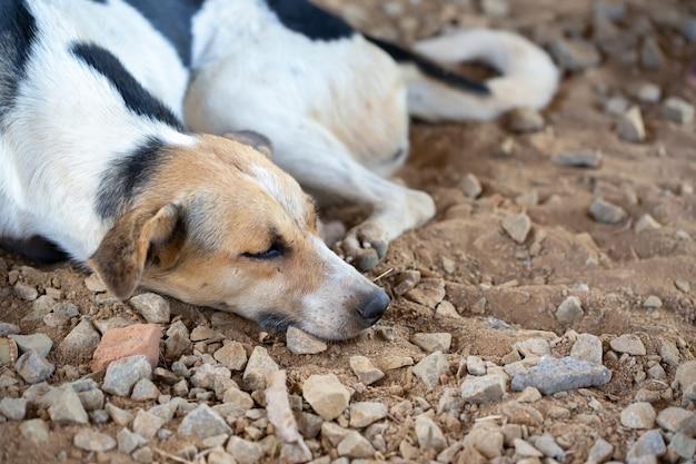 Un chien de rue sur l'île de madagascar