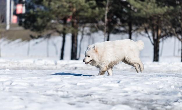 Un chien samoyède court sur la neige dans le parc