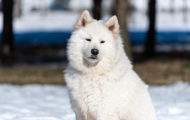 Un chien samoyède est assis sur la neige dans le parc