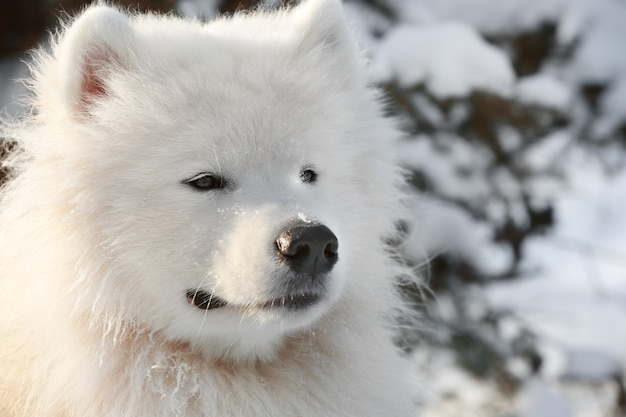 Chien samoyède mignon dans le parc le jour d'hiver, gros plan