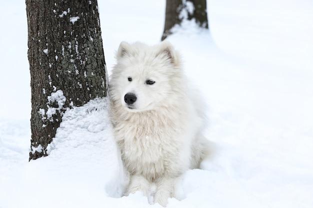 Chien samoyède mignon dans le parc le jour d'hiver
