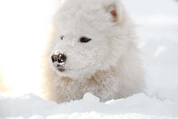 Chien samoyède mignon à l'extérieur le jour de l'hiver