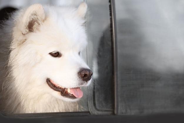 Chien samoyède mignon regardant par la fenêtre de la voiture