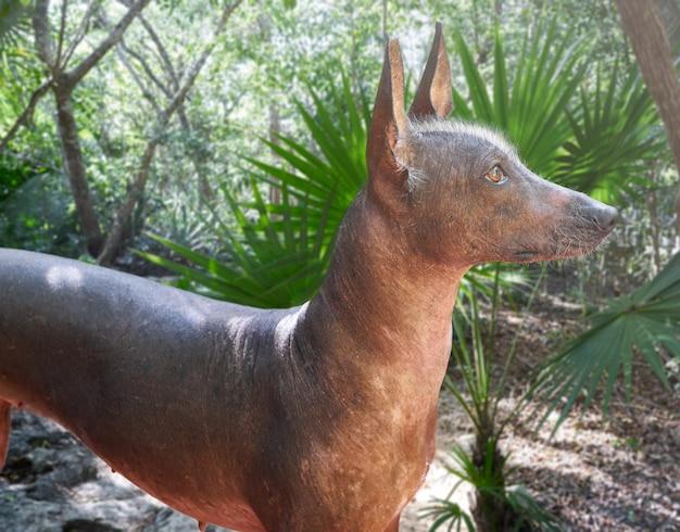 Chien sans poil aztèque xoloitzcuintli du mexique