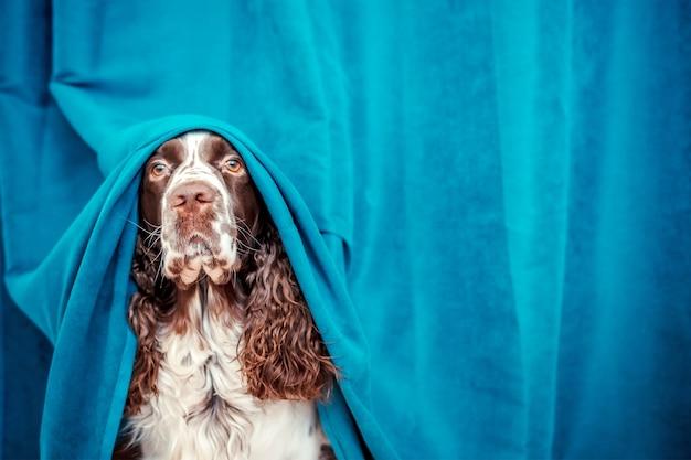 Le chien se cache derrière les rideaux bleus.
