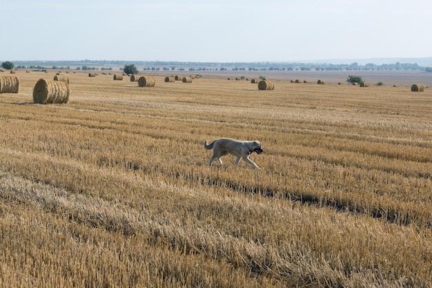 Un chien se tient dans un champ de blé après la récolte. grosses balles rondes de paille.