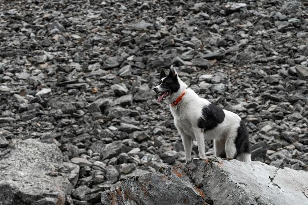 Le chien se tient sur un rocher. le husky noir et blanc se dresse sur un gros rocher comme un roi lion.