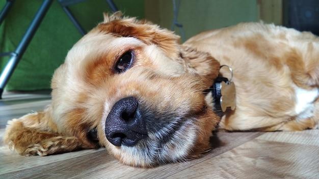 Le chien se trouve à la maison sur le sol