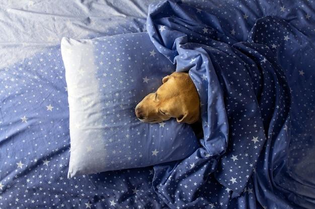 Le chien se trouve sous les couvertures sur le lit.