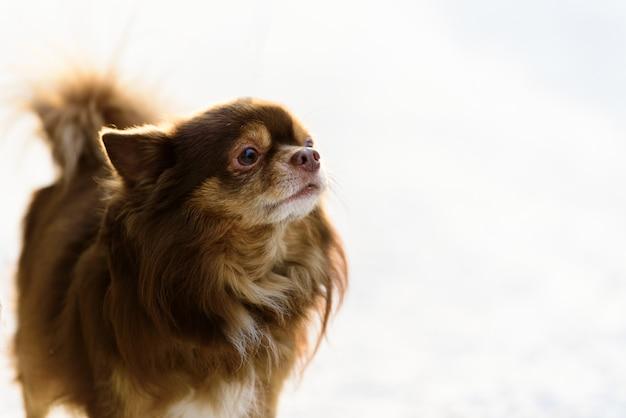 Le chien shih tzu joue à la neige le matin et la saison d'hiver à helsinki, en finlande.