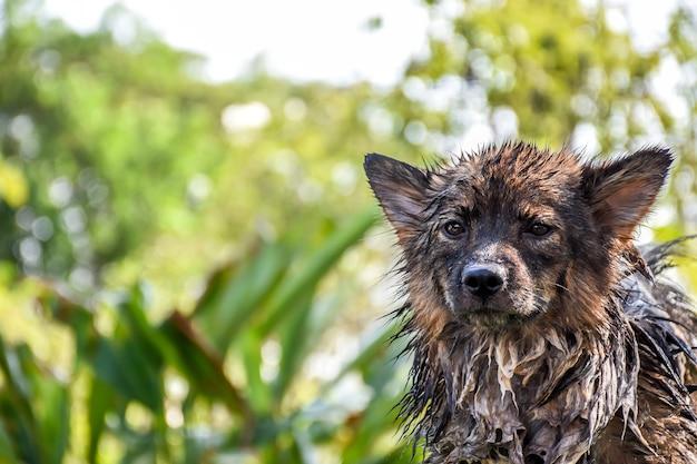 Chien si mignon race mixte en thaïlande obtenir un bain pour nettoyer et la santé est un chien errant