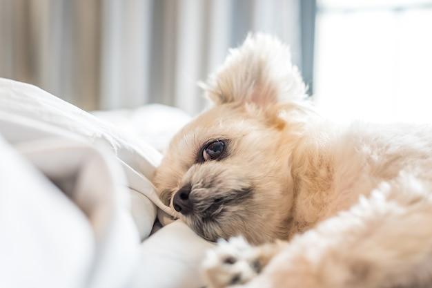 Chien de sommeil se trouve sur le lit dans la chambre à la maison ou à l'hôtel