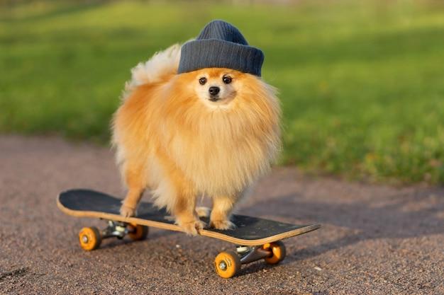 Chien et sport. cool pomeranian en chapeau équitation en skateboard, regarde la caméra.