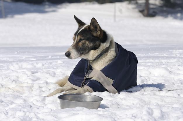 Chien sportif se repose dans la neige