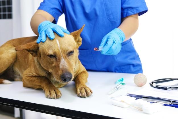 Chien sur table d'examen de la clinique vétérinaire. soins vétérinaires. médecin vétérinaire et chien.