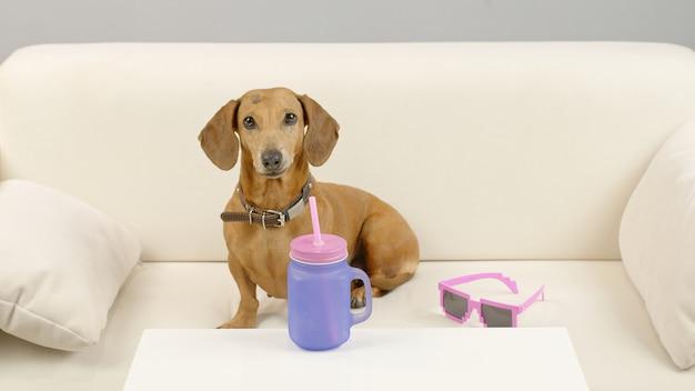 Chien teckel est assis sur le canapé avec une bouteille d'eau animal de compagnie sur le canapé à la maison